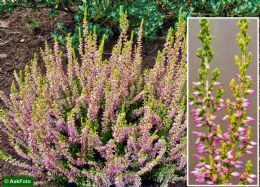 Calluna Vulgaris Theresa