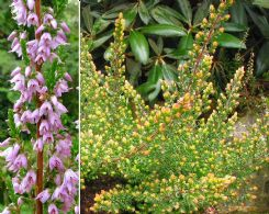 Calluna Vulgaris Tricolorifolia