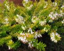 Vis produktside for: Erica Carnea Golden Starlet