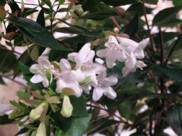 Abelia Grandiflora Nanna