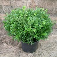 Buxus Micr. Mimer
