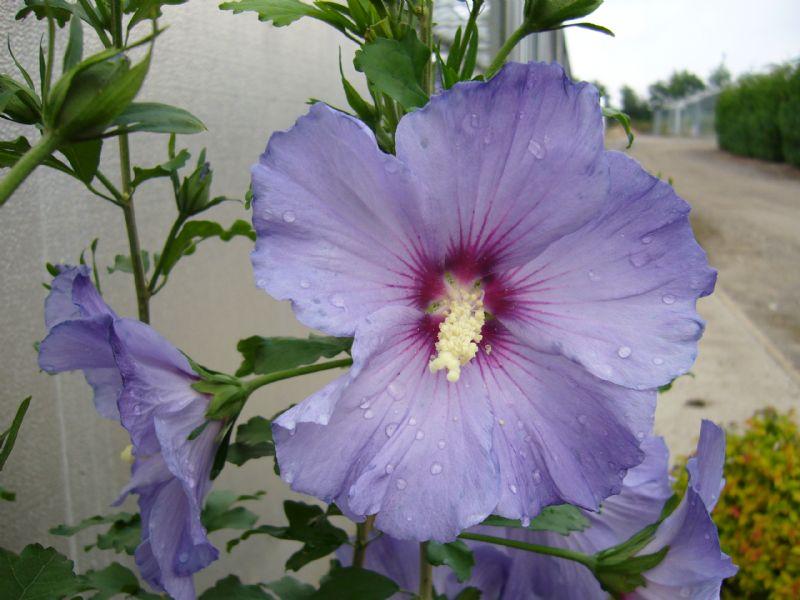 hibiscus syr blue bird jebjerg plantehandel. Black Bedroom Furniture Sets. Home Design Ideas
