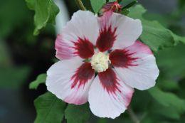 Hibiscus Syr. Hamabo
