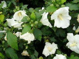 Hibiscus Syr. W.R.Smith