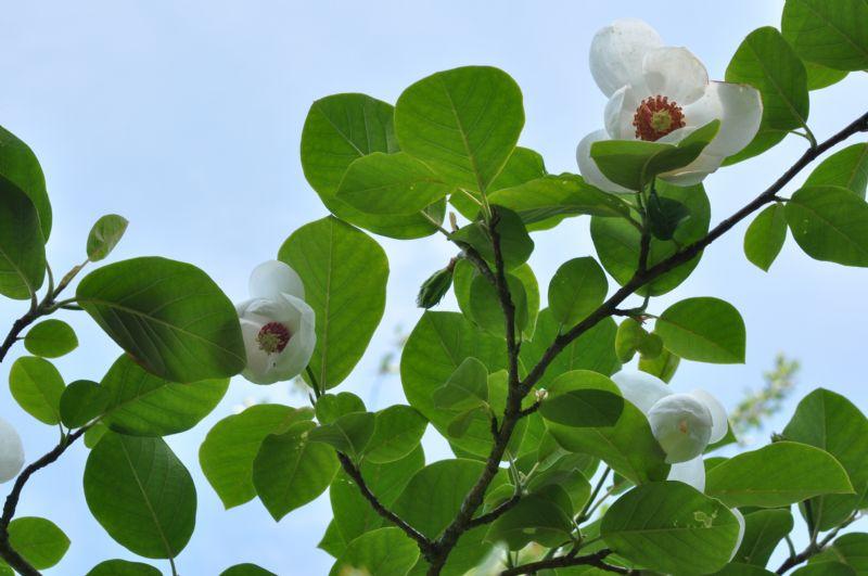 magnolia sieboldii jebjerg plantehandel. Black Bedroom Furniture Sets. Home Design Ideas
