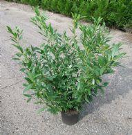 Prunus Laur. Prufon