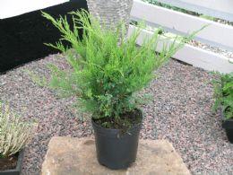 Juniperus Chin. Mint Julep