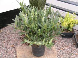 Prunus Laur Otto Luyken