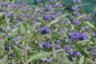Vis produktside for: Caryopteris Clando. Heavenly Blue