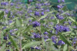 Caryopteris Clando. Heavenly Blue