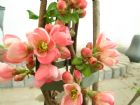 Vis produktside for: Chaenomeles Sup. Pink Lady