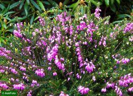 Erica X Darleyensis Spring Surprise