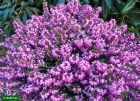 Vis produktside for: Erica Carnea Winter Beauty