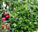 Vis produktside for: Gaultheria Procumbens