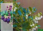 Vis produktside for: Gaultheria X Wisleyensis Wisley Pearl