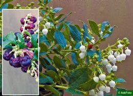Gaultheria X Wisleyensis Wisley Pearl