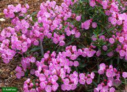 Kalmia Polifolia Newfoundland