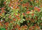 Vis produktside for: Pieris Japonica Little Heath
