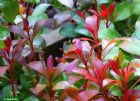 Vis produktside for: Pieris Japonica Little Heath Green