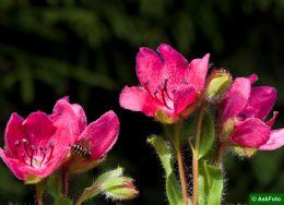 Rhododendron Camtschaticum rød form