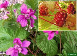 Rubus X Stellarcticus Anna