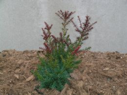 Podocarpus Law. Red Tip