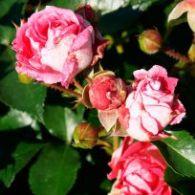 Ramira Flower Circus