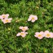 Vis produktside for: Potentilla Frut. Lovely Pink®