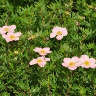 Potentilla Frut. Lovely Pink®