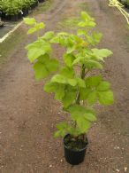 Rubus X Loganberry