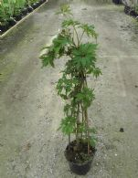 Rubus Fr. Thornless Evergreen