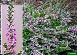 Calluna Vulgaris Dirry